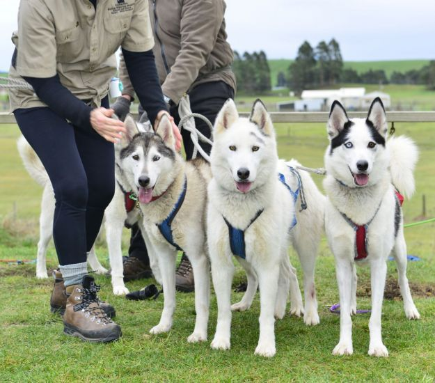 How did we get into Sled dogs?